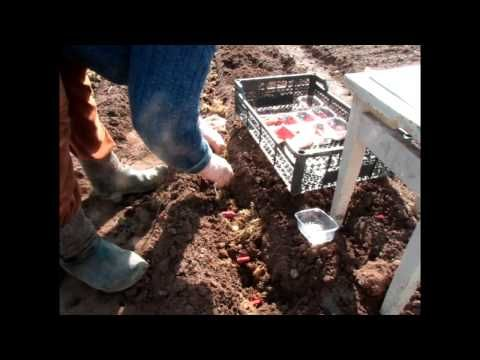 Видео посадки гладиолусов – подготовка почвы и процесс