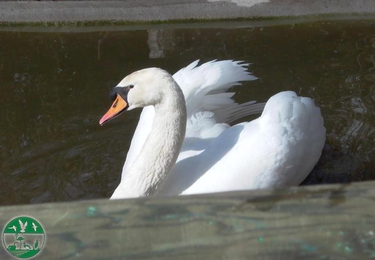Cisne mudo en el parque zoológico ornitológico de Avifauna Lugo