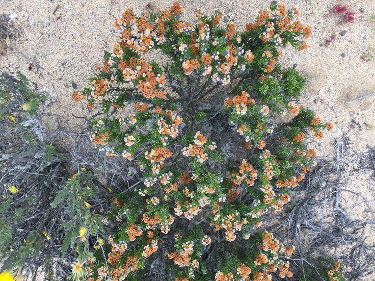 Palito negro, Heliotropium florido