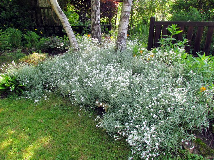 15 must see couvre sol pins plante rocaille jardin dans un conteneur and couvre. Black Bedroom Furniture Sets. Home Design Ideas