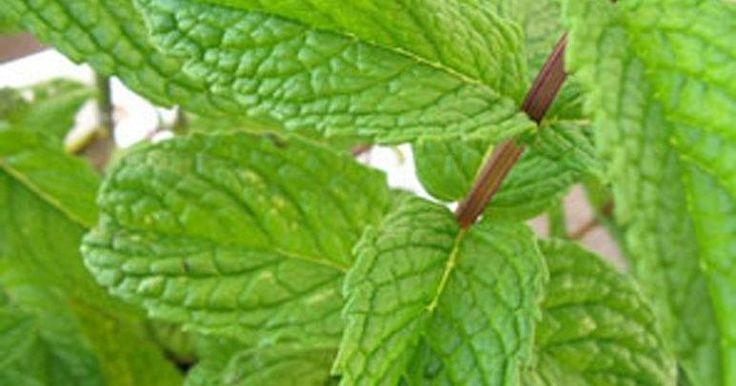 Los remedios caseros de agua de hierbabuena son perfectos para aliviar las dolencias estomacales y combatir otras muchas afecciones. ¡Te lo contamos aquí!