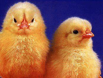 Pure Breed Chicken Egg Hatchery | Buy Chicken Eggs Online  cackle hatchery