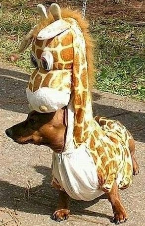 giraffe costume for dog////// hahahah: Funny Dogs, Weenie Dogs, Halloween Costumes, Dogs Costumes, Pet, Giraffes Costumes, Weiner Dogs, Wiener Dogs, Animal