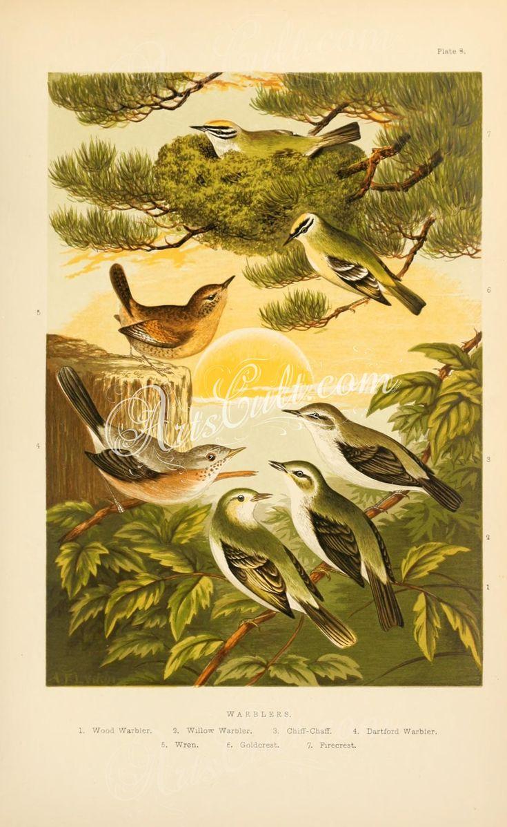 Wood Warbler, Willow Warbler, Chiff-Chaff, Dartford Warbler, Wren, Goldcrest, Firecrest      ...