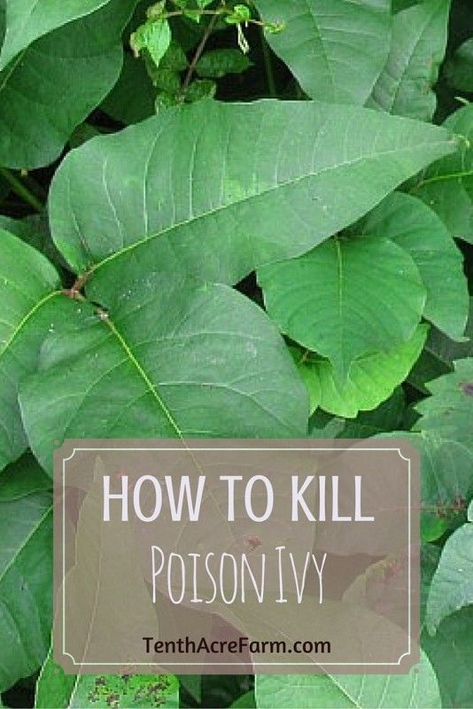 Poison ivy in the garden or a tended living area is a real bummer. In this post, I outline an ecological 5-step plan for eradicating poison ivy.