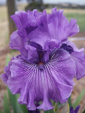 TB Iris 'Mulberry Magic' (Blyth, 2009)