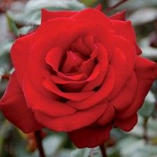 CRIMSON BOUQUET | Roses by Name | Shades of Red | Hybrid Tea
