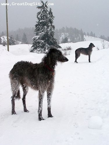 Scottish Deerhound. Winter.