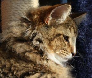 Chatterie de l'Eperon - elevage de chat norvegien en Drôme - proche de…