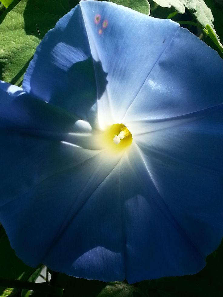 Morning Glory photo by Judy Jones