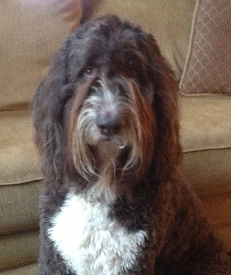 Bella The Newfiedoodle Dogs Amp Other Animals Pinterest