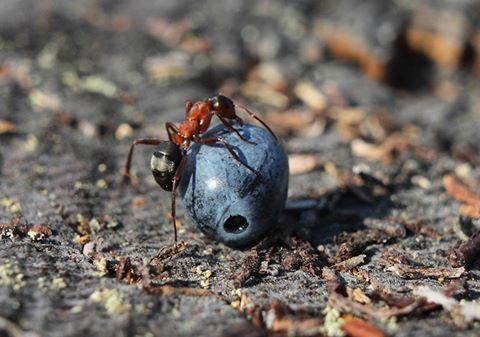 Muurahainen ja mustikka, kuvaaja Ari Kekki