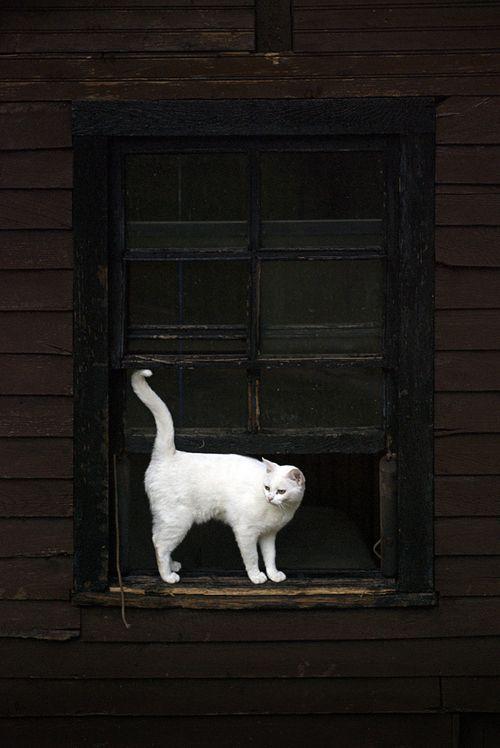: Black Window, Black Doors, Black And White, Cute Pet, Cute Cat, Black White, Photo, White Cat, Snow White