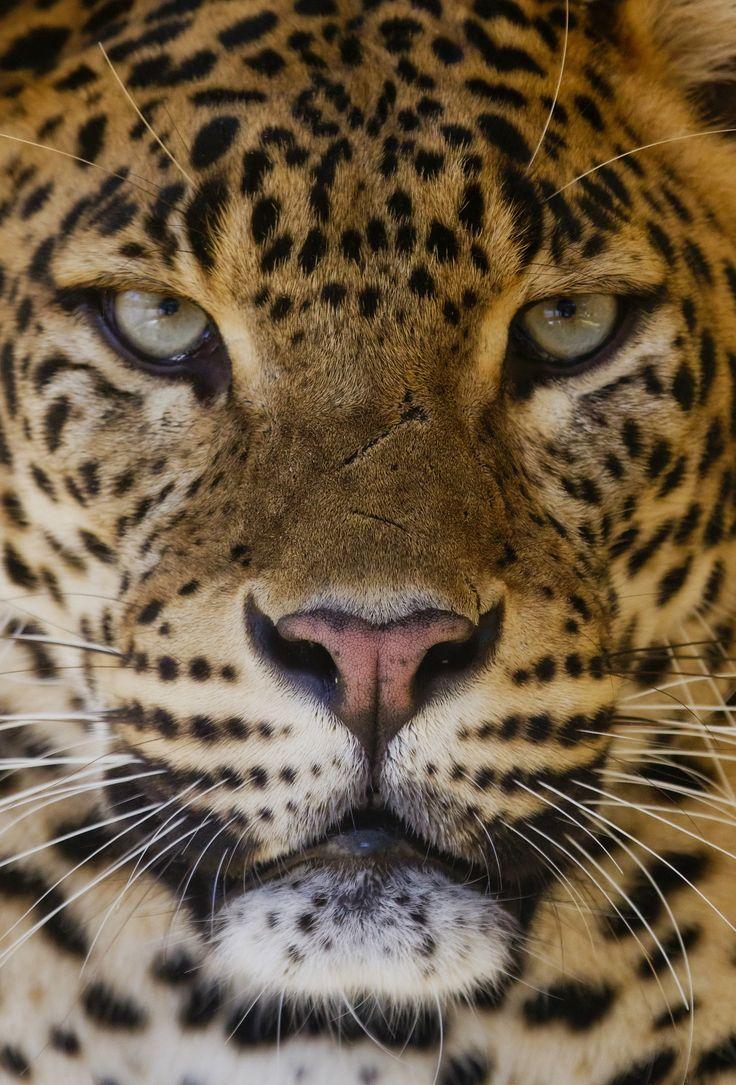 Male African Leopard - Zoo Palmyre - France | by wendysalisbury