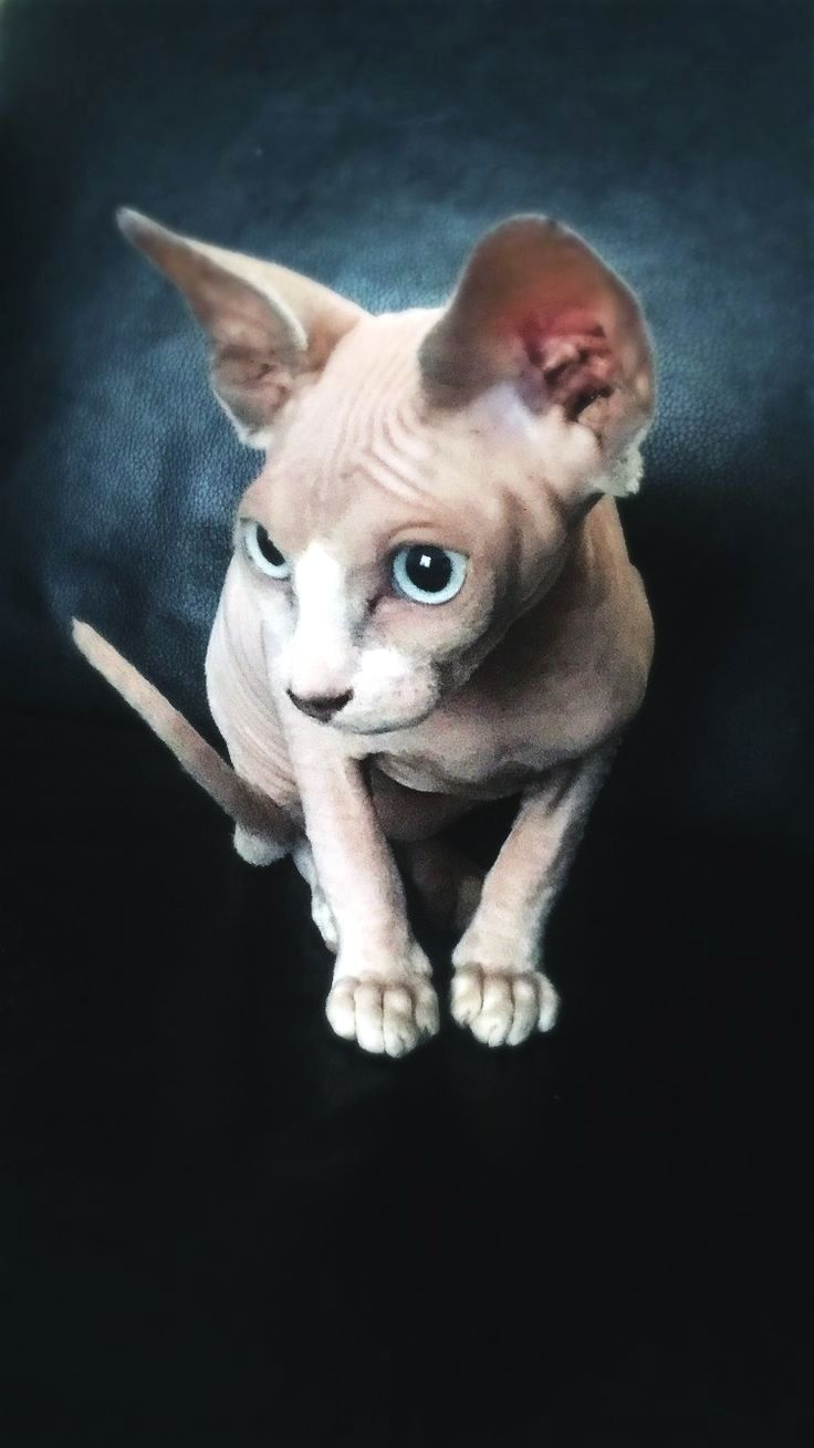 Pin On Sphynx Cat