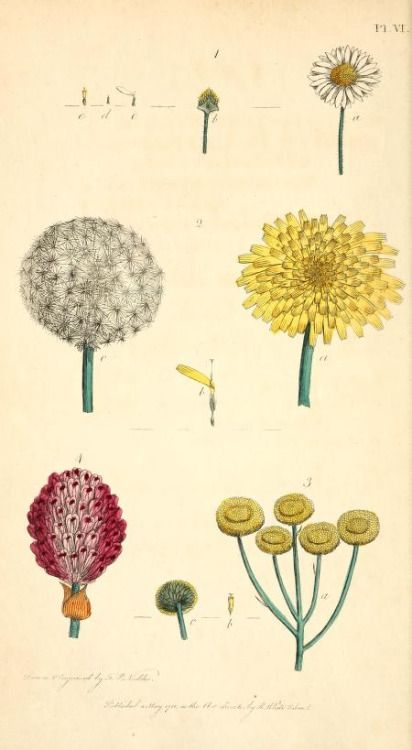 Compound Flowers. Bellis perennis (Common Daisy), Leontodun Taraxacum…