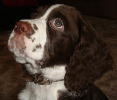 Winston, an English Springer Spaniel puppy at 2 months old