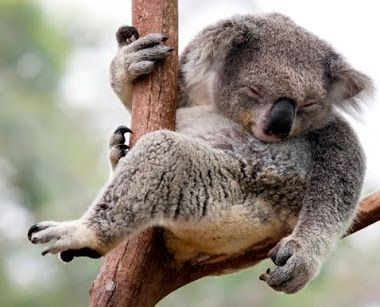 Koala at Tilligerry Habitat  Cute animals are always a hit on social media and make for a great picture. Head over to Tanilba Bay and visit Tilligerry Habitat where there's a high chance you'll spot a koala snoozing in a tree branch along the walkway – or looking right back at you like this guy below.