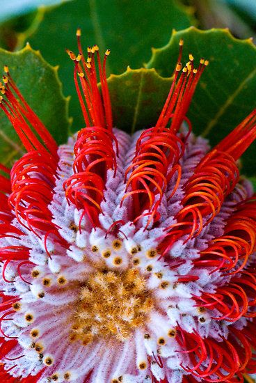 Macro of Christmas Banksia [Family: Proteaceae]