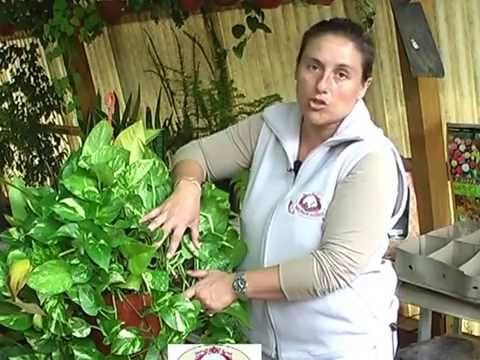 Potos o Photos, planta de interior - YouTube