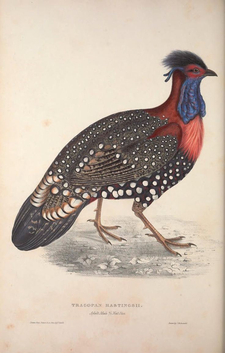 Tragopan hastingsii. A century of birds from the Himalaya Mountains London,1831. Biodiversitylibrary. Biodivlibrary. BHL. Biodiversity Heritage Library
