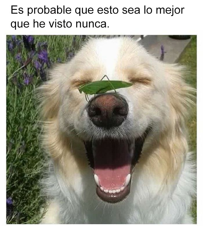 Memes Chistes Humor Funny Invequa Perro Perros Memes En Espanol Memes De Perros Memes Perros Felices Memes De Perros Graciosos Perros Lindos