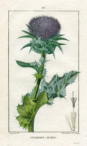 Thistle botanical