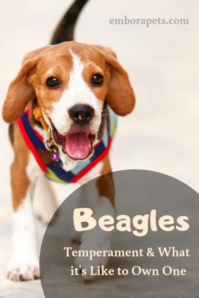 Ever Thought About Owning A Beagle In This Article You Will Find