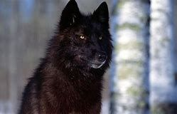 Image result for free black wolf pictures