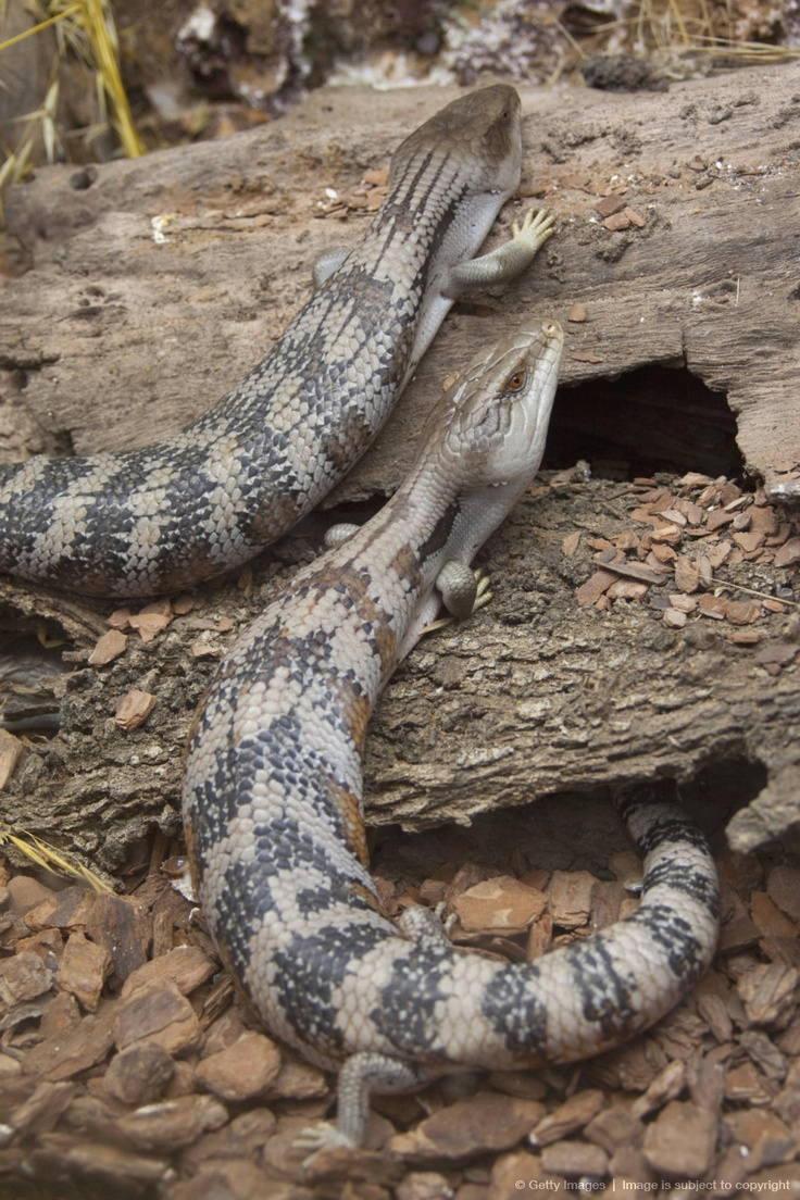 Image detail for -Pair of Blue-tongued Skinks (Tiliqua spp.) at reptile display in Cape Town, Eastern Cape Province, South Africa