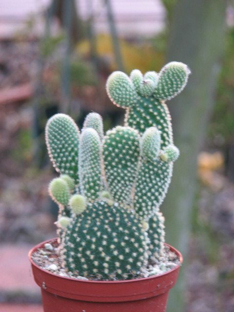 Opuntia Mini Cactus Plant  This are green plants with many pads, they have a very short yellow spine, they grow in interesting shapes. It is shown in