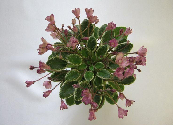 Н-Четыре Сезона Огромное количество розовых с зеленцой в бордовую крапушку колокольчиков и полуколокольчиков, цветет постоянно, все четыре сезона