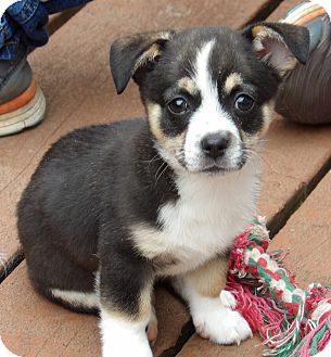 West Sand Lake, NY - Corgi/Terrier (Unknown Type, Small) Mix. Meet Jasmine (5 lb) Video, a puppy for adoption. http://www.adoptapet.com/pet/17921840-west-sand-lake-new-york-corgi-mix