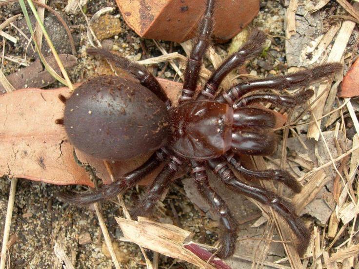 Sydney Funnel Web Spider ♥