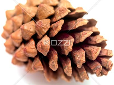 Open Pinecone - A pinecone that has opened.