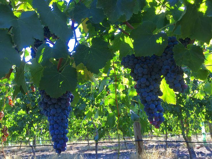 The Grape – Virago