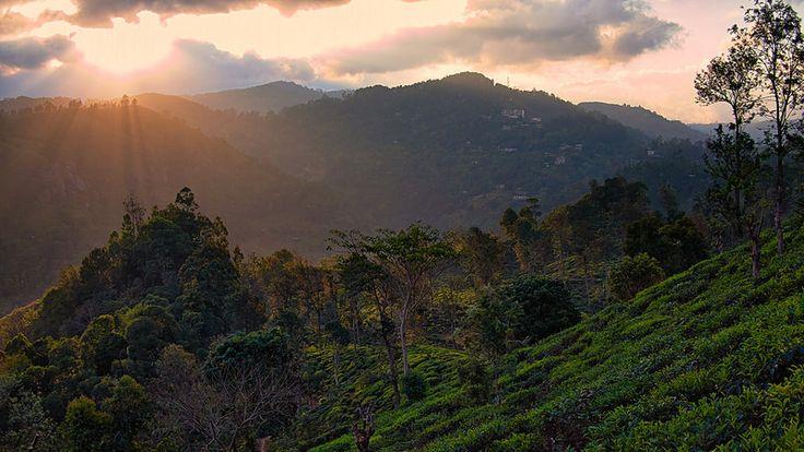 Tea Plantation, Ella, Sri Lanka #SriLanka #Ella #TeaPlantation #Sunset