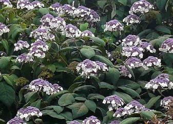 Hydrangea macrophylla 'Aspera'