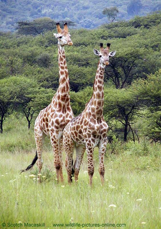 i wanna see giraffes in real life! | see the world ...