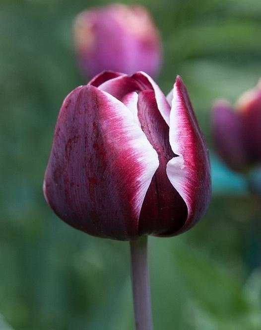 Tulip 'Fontainebleau'