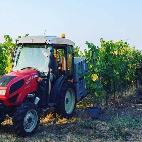 Début des vendanges avec le crémant au Domaine de l'Envol   Beginning of harvest time  #alsace #vins #domainedelenvol #harvest //// Vins Bio d'Alsace - Domaine de l'Envol - Organic Wine