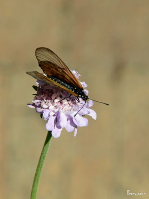 Butterfly on Scabiosa (Cape Scabious, Pincushion, Koringblom), (c) Florescence