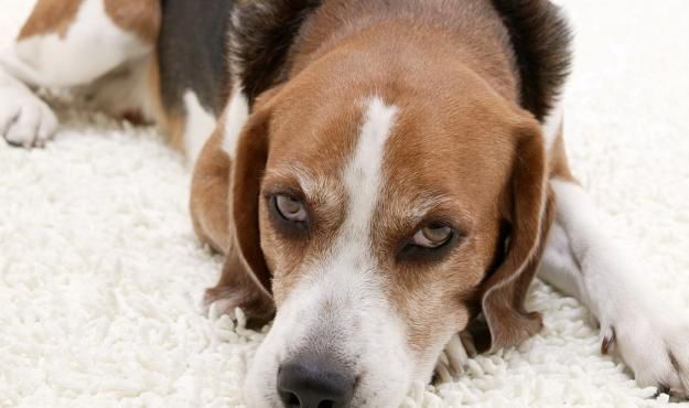 How to Groom an American Foxhound | American Foxhound Dogs and Puppies