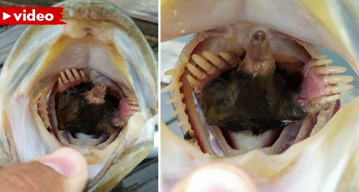 Pescador Tem Surpresa Após Apanhar Peixe Com Toupeira Dentro Da Boca
