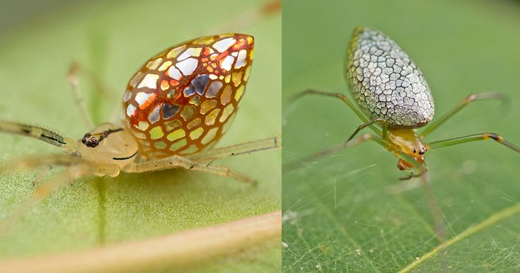 For the last several years Singapore-based photographer Nicky Bay (previously here and here) has been documenting the life of the mirror spider, an unusual arthropod whose abdomen is covered in bright reflective panels that appear almost metallic. Bay recently noticed that some of the spiders ex