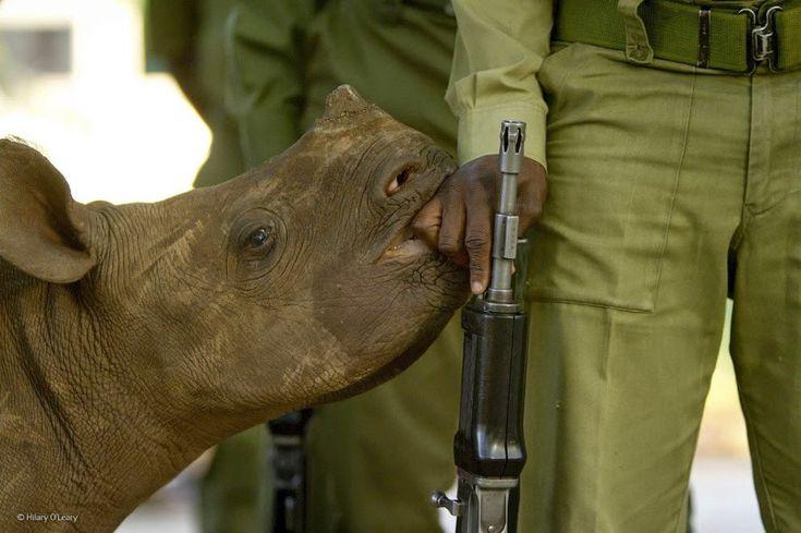 Маленький чёрный носорог и его охрана. Вооружённые солдаты приставлены ко всем чёрным носорогам, чтобы защищать их от браконьеров. В итоге животные начинают воспринимать солдат как членов семьи.