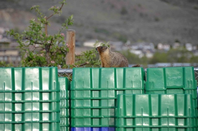 Our resident groundhog sitting on our picking bins in our vineyard. Photo by Leyton McKinnon #groundhog #nature