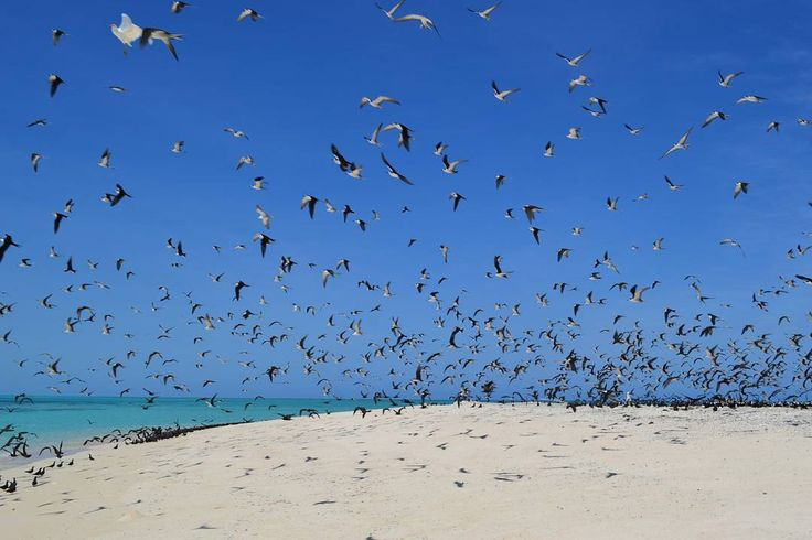Michaelmas Cay a bird sanctuary in the middle of the Great Barrier Reef. Amazing place! . Michaelmas Cay é um banco de areia permanente que funciona como um santuário de pássaros no meio da Grande Barreira de Corais. Sensacional! . #michaelmascay #cairns #greatbarrierreef #tropicalnorthqueensland #queensland #australia #discoverqueensland #birds #instagram #instatravel #travelgram #travel  #travellers #worldtravel  #travelling #backpacking #beautifuldestinations #destinations…