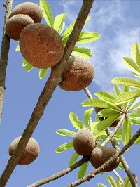 Mamey Sapote - Tropical Fruit Growers of South Florida, options to purchase fruit from their website!!