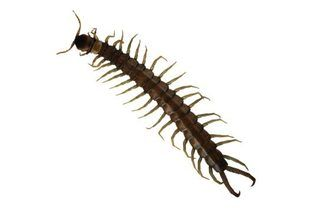 Natural Products That Repel Centipedes (with Pictures) | eHow